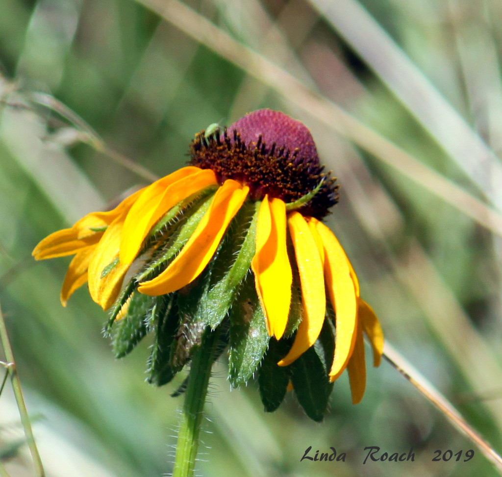 May Coneflower  by grannysue