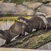 Otter Train