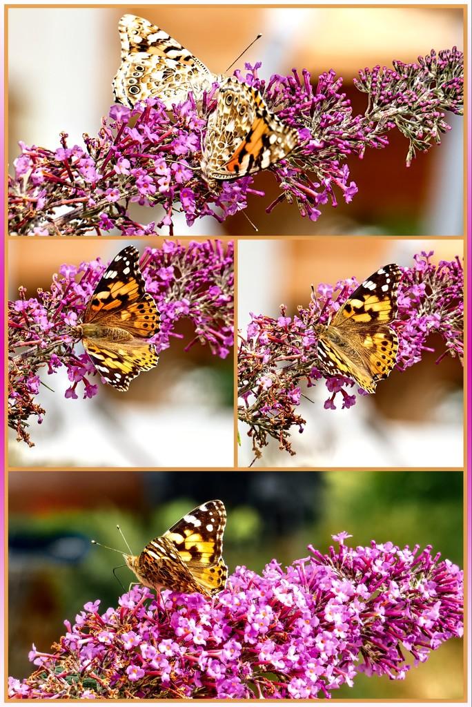 Painted Lady enjoying nectar by ludwigsdiana