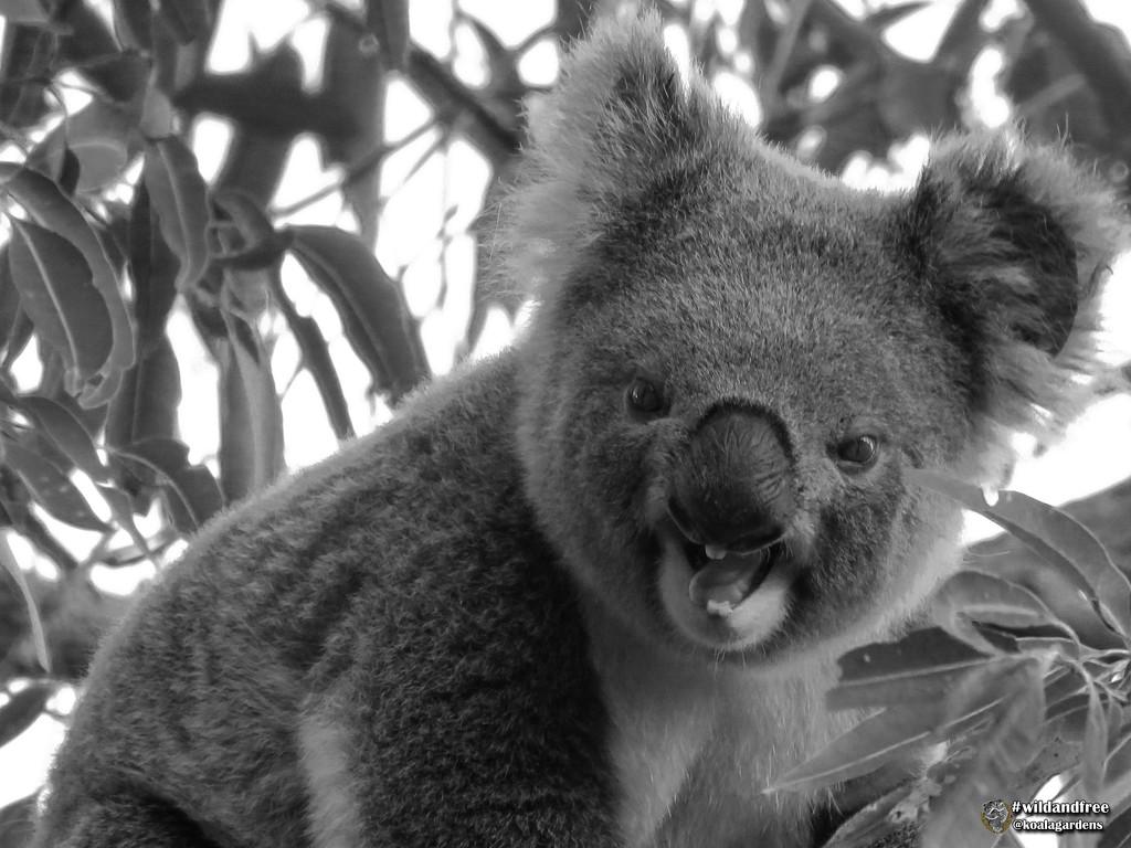 honest, I'm not snarling, I'm screaming! by koalagardens