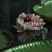 Amazonian waterlily #3