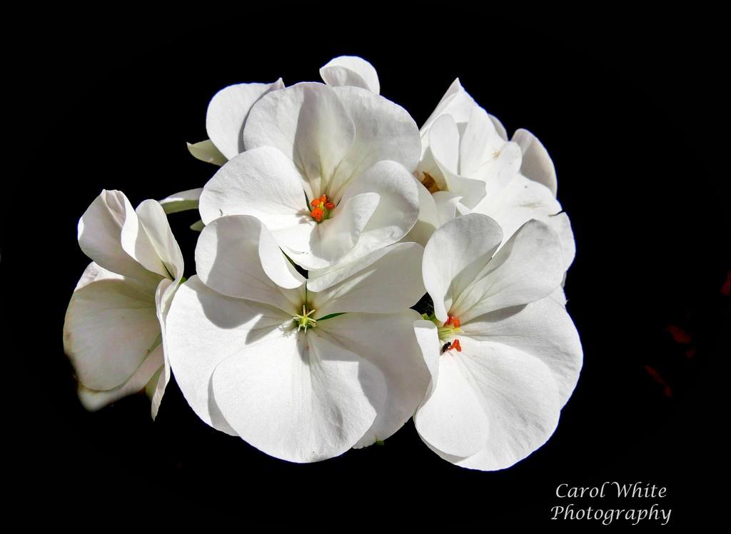 Geranium (best viewed on black) by carolmw