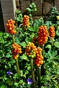18th Aug 2019 - Arum Italicum - Berry time