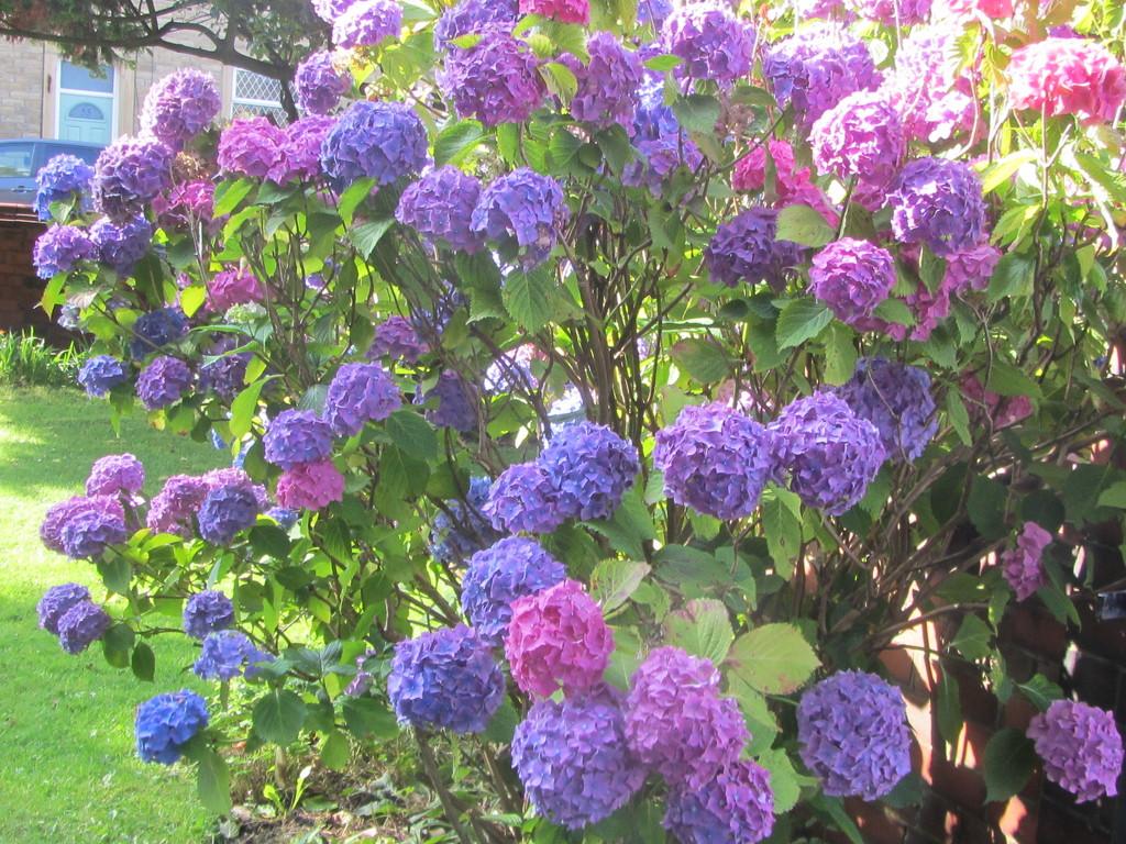 Three colours in one. Hydrangea shrub. Church garden. by grace55