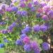 Three colours in one. Hydrangea shrub. Church garden.