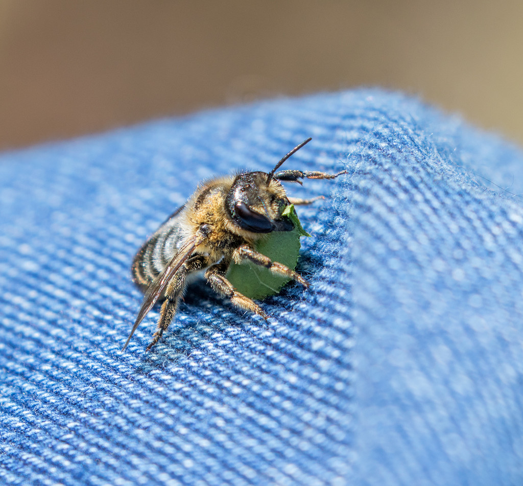Leafcutter Bee by hazydaze