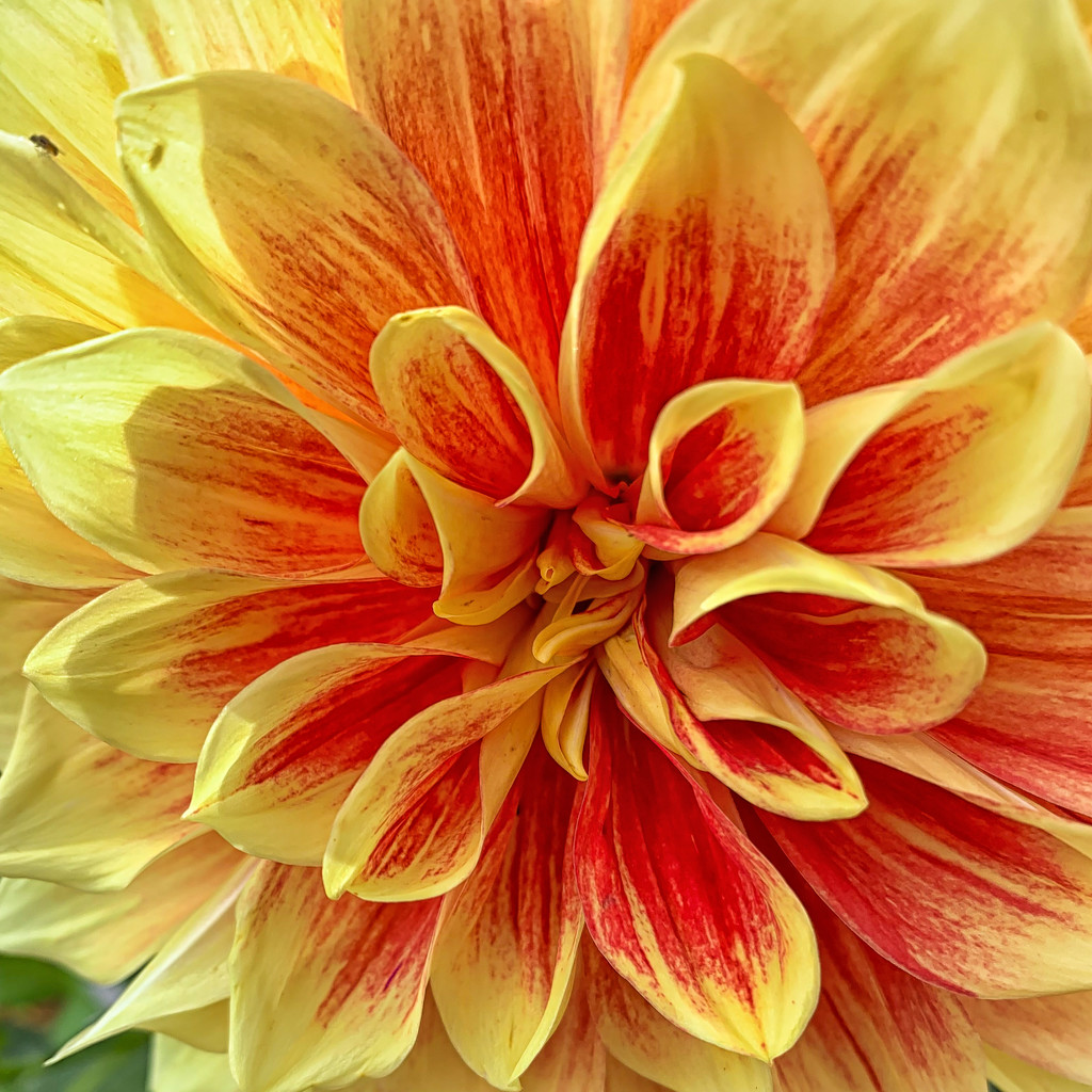 Dahlia by pamknowler