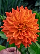 19th Aug 2019 - Orange Dahlia.