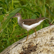 18th Aug 2019 - spotted sandpiper