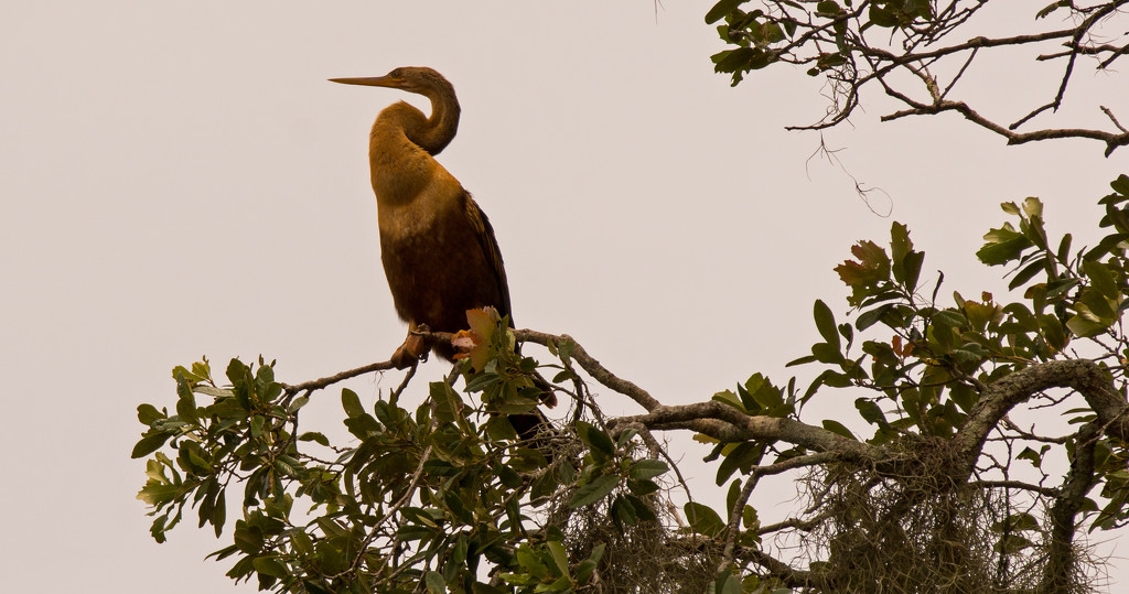 Anhinga Way Up in the Tree! by rickster549