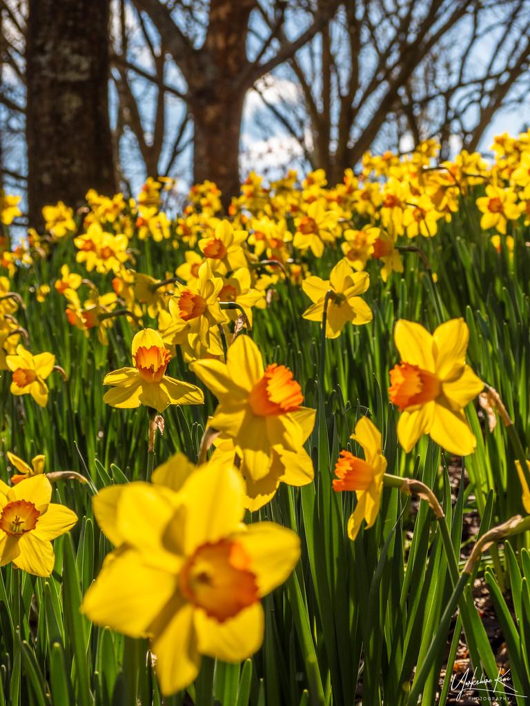 Daffodils by yorkshirekiwi