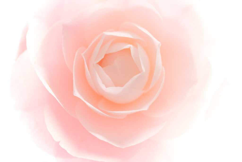A camellia named Desire by maureenpp