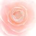 A camellia named Desire