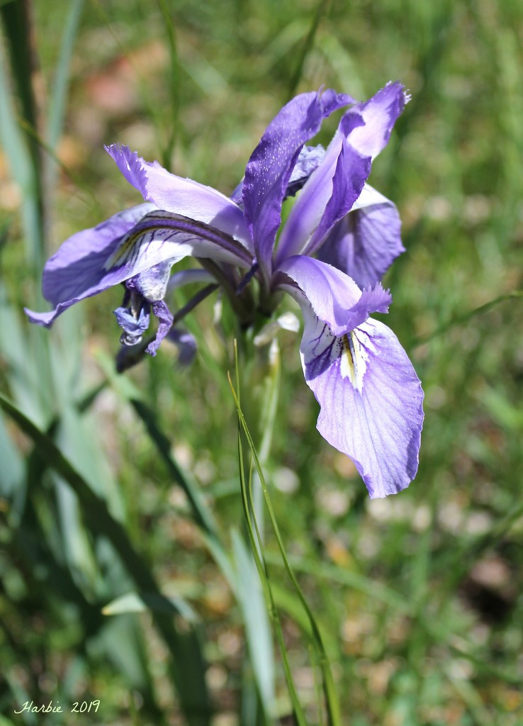 Wild Iris by harbie