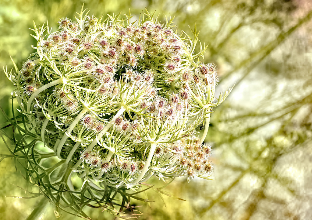 Queen Anne's Lace by ludwigsdiana