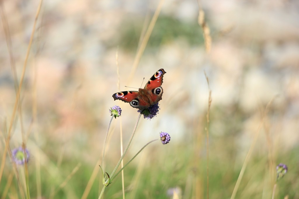 Peacock butterfly by jamibann