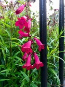 18th Aug 2019 - Red bells in the Park