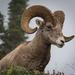 Glacier Park Big Horn Sheep