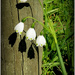 Snowdrops by dide