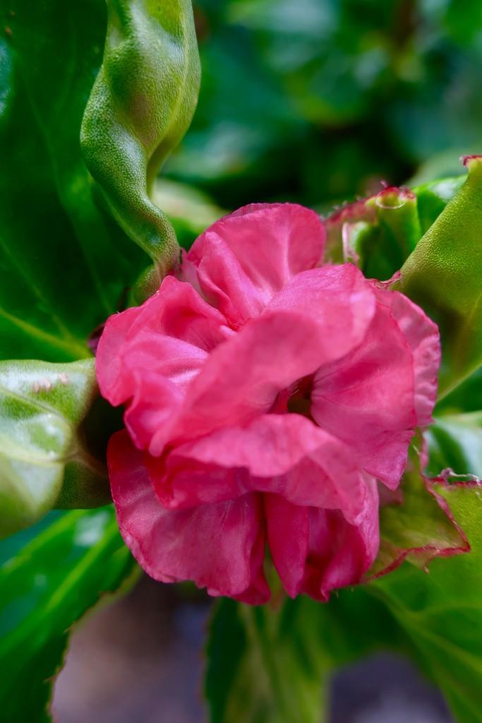 A Double Begonia by louannwarren