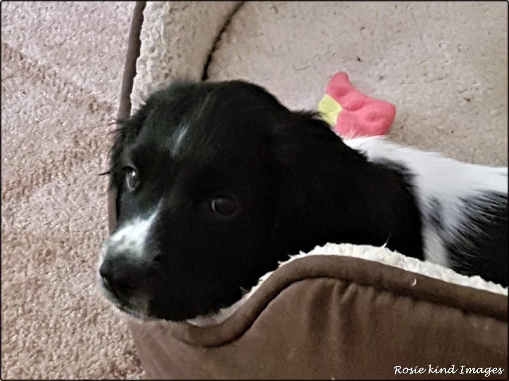 Sarah's dog Zac by rosiekind
