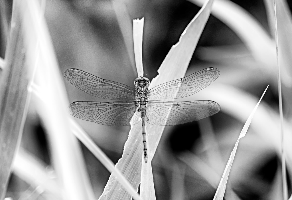 Dragonfly by tosee