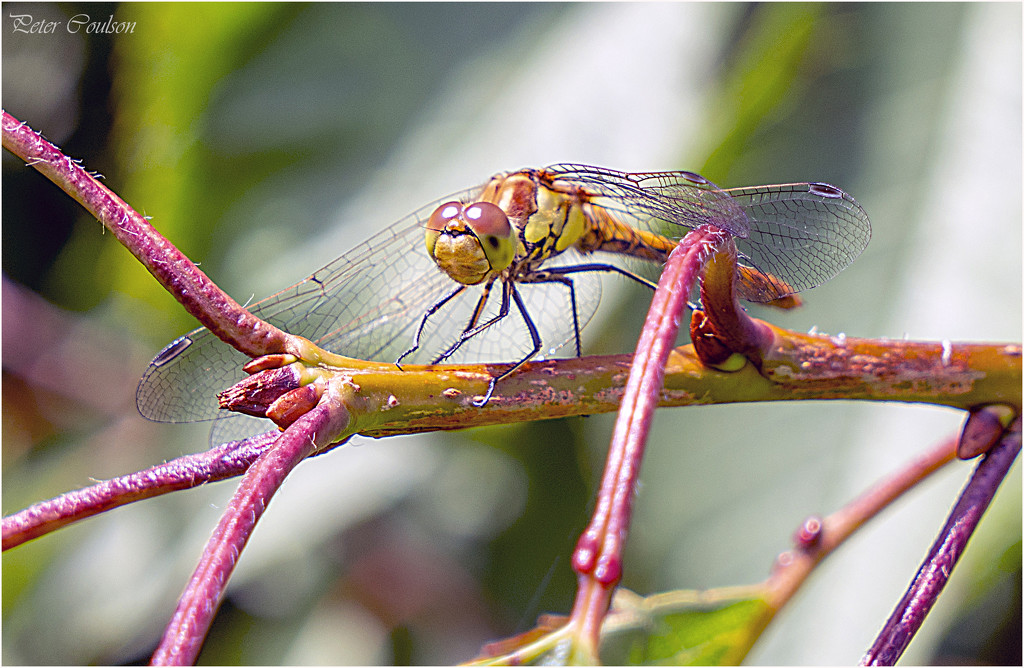 Dragonfly by pcoulson
