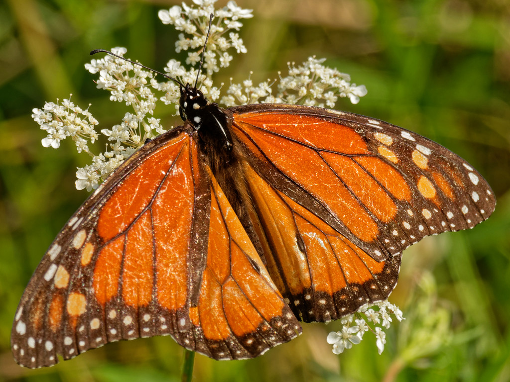 monarch butterfly by rminer