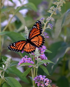 19th Aug 2019 - Grandma's Butterfly