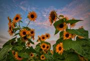 19th Aug 2019 - Sunflower Moonset