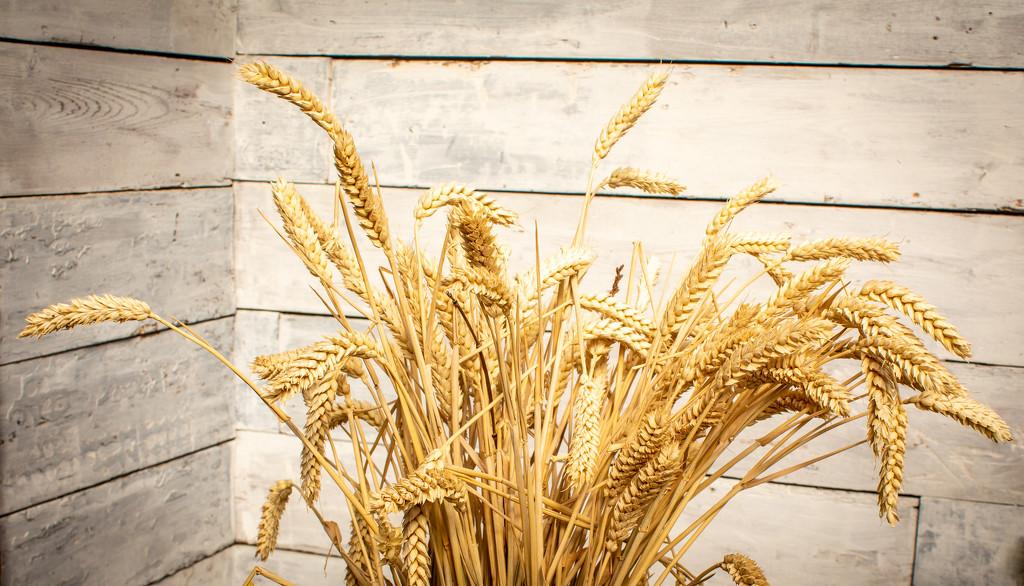Wheat by swillinbillyflynn