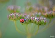 19th Aug 2019 - Lady bug on wild parsnip!