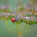 Lady bug on wild parsnip!
