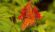 19th Aug 2019 - Gulf Fritillary Butterfly!