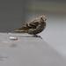 ~Finch~