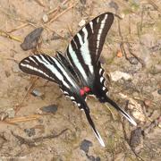"6th Jun 2019 - Zebra Swallowtail — ""dorsal"" view"