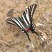 "Zebra Swallowtail — ""dorsal"" view"