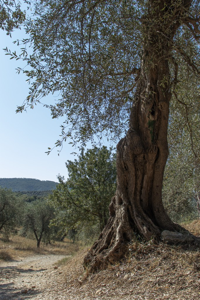 Olive tree by angelikavr