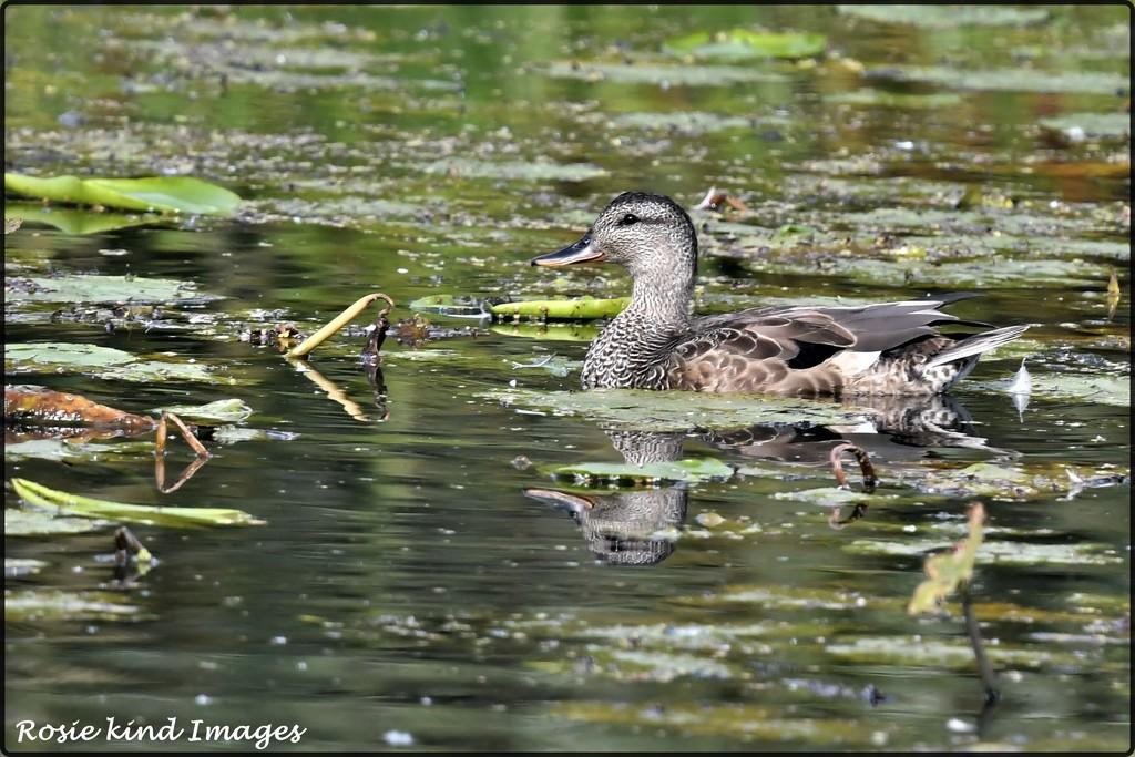 Mrs Duck by rosiekind