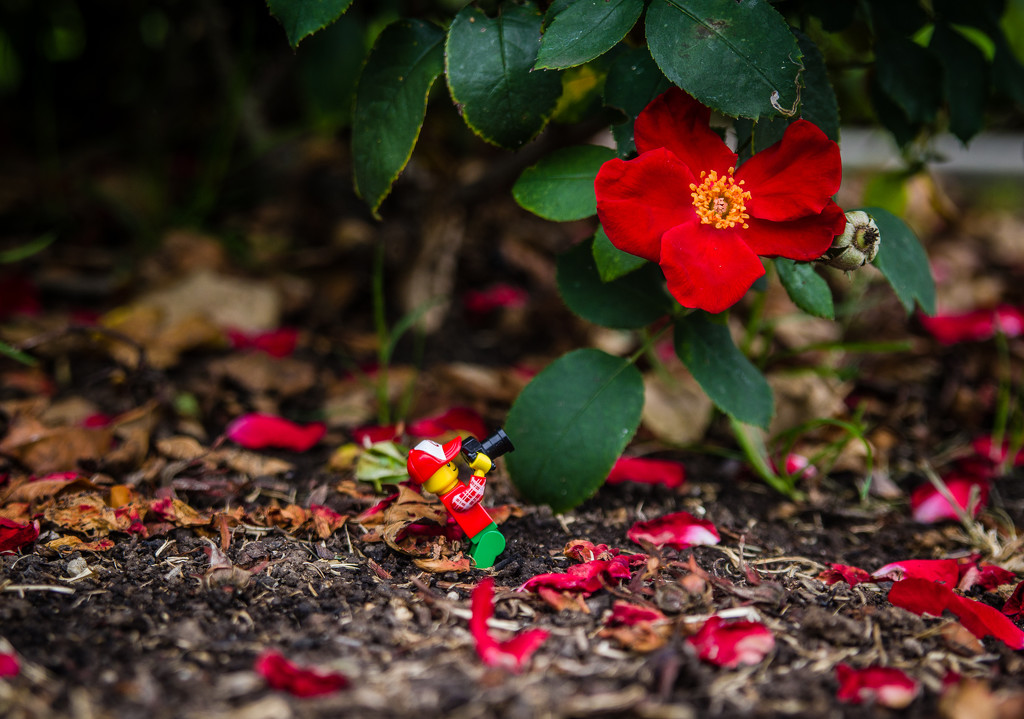 (Day 187) - Home Run Rose by cjphoto