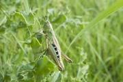 20th Aug 2019 - Common field grasshopper