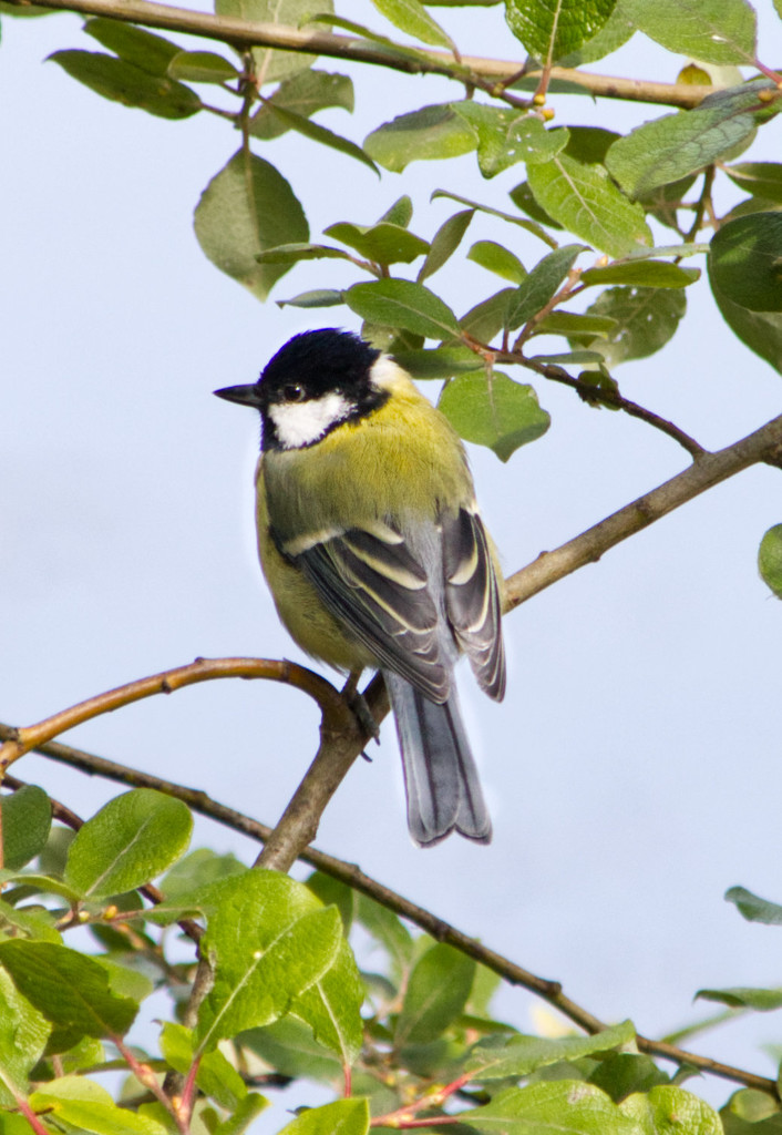 Is it a great tit? by mave