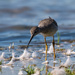Lesser Yellow-legs amongst Goose Down by mgmurray