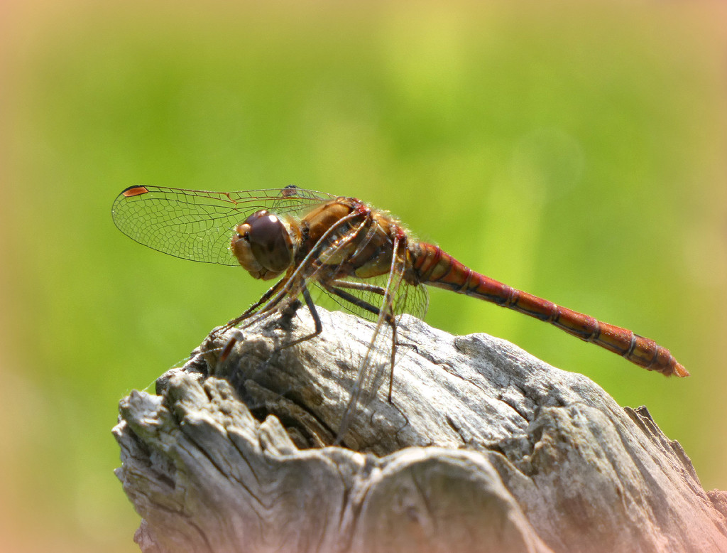 Dragon Fly. by wendyfrost
