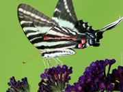 """9th Jun 2019 - Zebra Swallowtail — """"ventral"""" view"""
