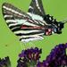"""Zebra Swallowtail — """"ventral"""" view"""