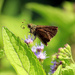 Skipper on Ageratum