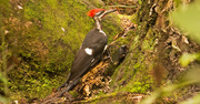 20th Aug 2019 - Pileated Woodpecker Making Sawdust!