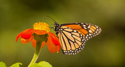 20th Aug 2019 - Monarch Butterfly!