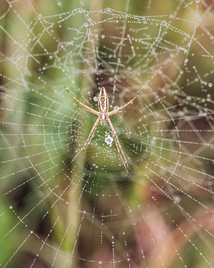 argiope by aecasey